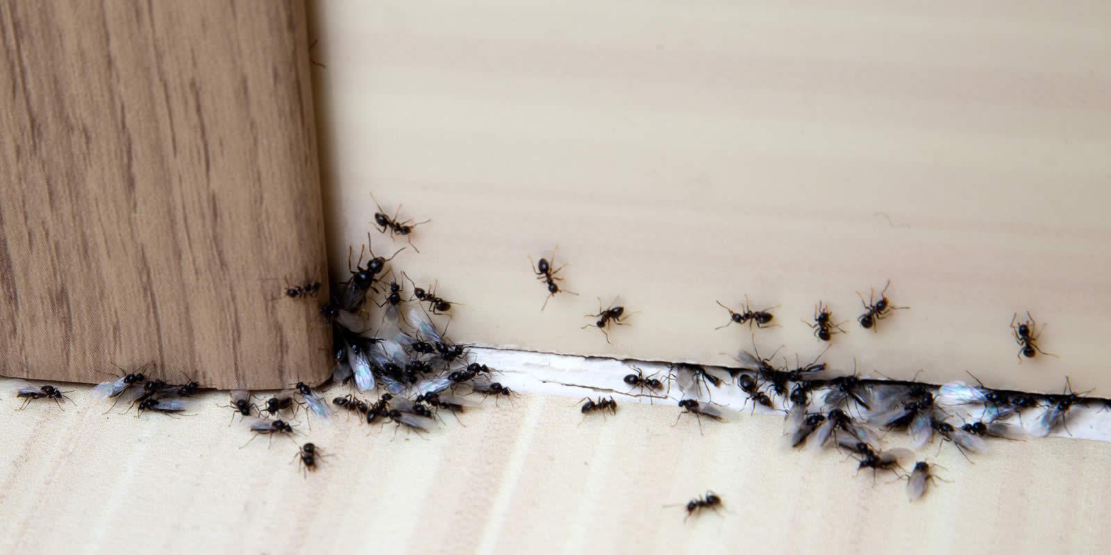 Hausmittel gegen Ameisen Tipps gegen Ameisen in der Wohnung